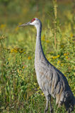 Sandhill Crane. A Sandhill Crane stands in a marsh area during the Fall migration Royalty Free Stock Photos