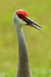 Sandhill crane Stock Images