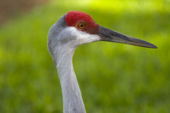 Sandhill crane. In central florida Royalty Free Stock Image