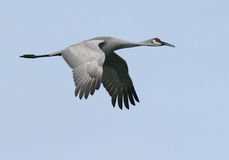 Sandhill Crane. A Sandhill Crane in flight, photographed in Spokane, Washington Stock Image