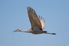 Free Sandhill Crane Stock Photos - 39104413