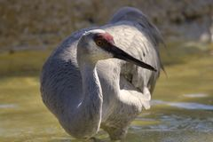 Sandhill Crane. A sandhill crane standing in water royalty free stock photo