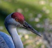 Sandhill crane. Crane at Reifel sanctuary stock images