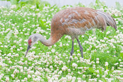 Sandhill crane stock photo