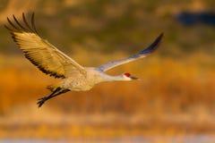 Sandhill Crane (Antigone canadensis) Stock Photo