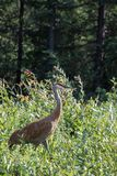 Sandhill crane (Antigone canadensis) walking in high wild grass and low bush at Mackenzie river, Northwest territories ( NWT) Cana. Da Royalty Free Stock Images