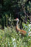 Sandhill crane (Antigone canadensis) walking in high wild grass and low bush at Mackenzie river, Northwest territories ( NWT) Cana. Da Royalty Free Stock Photos