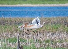 Sandhill Crane Attacking Another Crane In Marsh. A Sandhill Crane attacking another crane in a marsh area in Wisconsin Stock Images