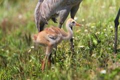 Sandhill Crane Baby royalty-vrije stock foto's