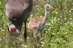 Sandhill Crane Baby stock foto's