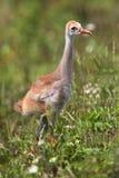 Sandhill Crane Baby stock afbeelding