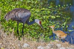 Sandhill Crane Baby Begging His Mother voor Voedsel royalty-vrije stock fotografie