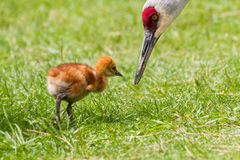 Sandhill crane and baby chick Royalty Free Stock Images