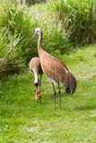 Sandhill crane and baby chick Stock Photo