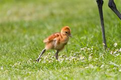Sandhill crane baby chick Stock Images