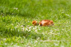 Sandhill crane baby chick Royalty Free Stock Photography