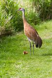 Sandhill crane and baby chick Stock Photos