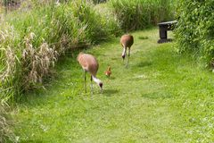 Sandhill crane and baby chick Royalty Free Stock Photography