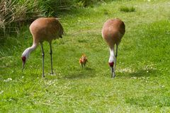 Sandhill crane and baby chick Royalty Free Stock Image