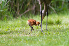 Sandhill crane and baby chick Royalty Free Stock Photos