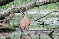 Sandhill Crane and Baby hatchling Stock Image