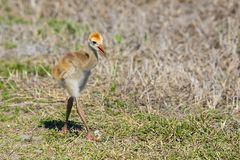 Sandhill Crane Baby Walking On Grass stock foto