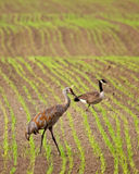 Sandhill Crane and Canada Goose Royalty Free Stock Photography