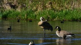 A Sandhill crane and A Canada goose are grooming . Burnaby lake BC Canada stock video footage