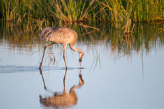 Sandhill Crane catches a freshwater clam at Graveyard fields Royalty Free Stock Image