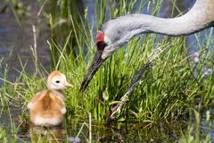 Sandhill Crane and Chick. A sandhill crane (Grus canadensis) forages with its chick (called a colt royalty free stock photos
