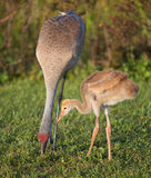Sandhill crane and chick Stock Photo