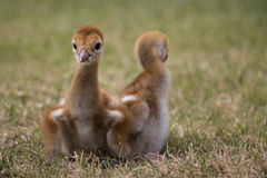 Sandhill crane chick, Florida. Sandhill crane chick with sibling, Florida. Approximately 2-4 days old. Small babies are called chicks, while larger ones are Royalty Free Stock Photos