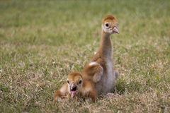 Sandhill crane chick, Florida. Yawning sandhill crane chick with sibling, Florida. Approximately 2-4 days old. Small babies are called chicks, while larger ones Stock Photo