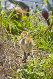 Sandhill Crane Chick Stock Photo