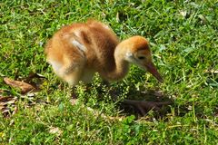 Sandhill Crane Chick (Grus Canadensis) Photos libres de droits