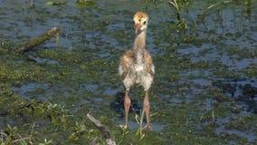 Sandhill crane chick in wetlands stock footage