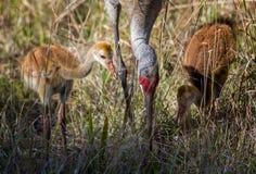 Sandhill Crane Chicks fotografie stock libere da diritti