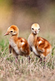 Sandhill Crane Chicks. Walking in field Royalty Free Stock Photo