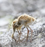 Sandhill Crane Chicks Imagens de Stock