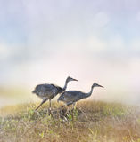 Sandhill Crane Chicks Imagem de Stock Royalty Free