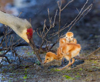 Sandhill crane chicks and mom Stock Photography