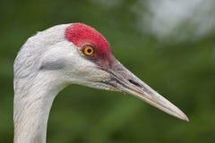 Sandhill crane close-up Stock Photos