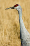 Sandhill Crane Closeup. A Sandhill Crane poses for a portrait in an alfalfa field along the Rio Grande River in Central New Mexico. The Sandhill Crane (Grus stock photos