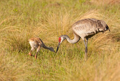Sandhill Crane and Colt Stock Images