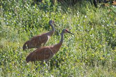 A Sandhill Crane . Couple Mackenzie river, Northwest territories & x28; NWT& x29; Canada stock images