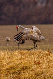 Sandhill Crane Courtship Dance royalty-vrije stock foto