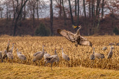 Sandhill Crane Courtship Dance Royalty Free Stock Images