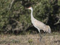Sandhill Crane. A Sandhill Cranes grazing in a meadow near Rockport Texas, USA. Carol Gray Royalty Free Stock Photo