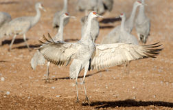 Sandhill Crane Dancing, Arizona image stock