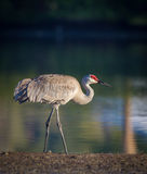 Sandhill Crane at dawn Stock Images